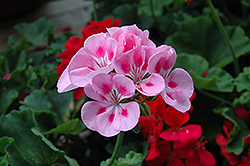 Rocky Mountain Light Pink Geranium (Pelargonium 'Rocky Mountain Light Pink') at TLC Garden Centers