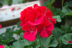 Rocky Mountain Magenta Geranium (Pelargonium 'Rocky Mountain Magenta') at TLC Garden Centers