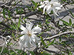 Royal Star Magnolia (Magnolia stellata 'Royal Star') at TLC Garden Centers