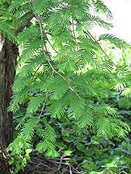 Dawn Redwood (Metasequoia glyptostroboides) at TLC Garden Centers