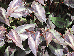 Red Dragon Fleeceflower (Persicaria microcephala 'Red Dragon') at TLC Garden Centers