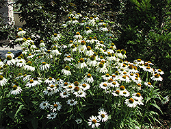 White Swan Coneflower (Echinacea purpurea 'White Swan') at TLC Garden Centers