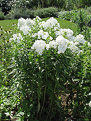 David Garden Phlox (Phlox paniculata 'David') at TLC Garden Centers