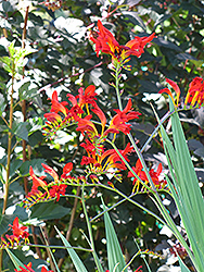 Lucifer Crocosmia (Crocosmia 'Lucifer') at TLC Garden Centers