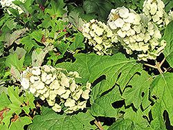 Snow Queen Hydrangea (Hydrangea quercifolia 'Snow Queen') at TLC Garden Centers