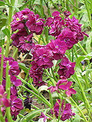 Stock (Matthiola incana) at TLC Garden Centers