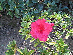 Bloom-A-Thon® Red Azalea (Rhododendron 'RLH1-1P2') at TLC Garden Centers