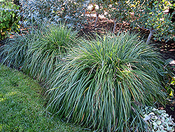 Moudry Fountain Grass (Pennisetum alopecuroides 'Moudry') at TLC Garden Centers