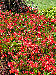 Dragon Wing Red Begonia (Begonia 'Dragon Wing Red') at TLC Garden Centers