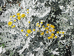 Silver Dust Dusty Miller (Senecio cineraria 'Silver Dust') at TLC Garden Centers