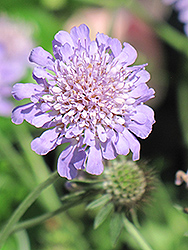 Butterfly Blue Pincushion Flower (Scabiosa 'Butterfly Blue') at TLC Garden Centers