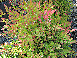 Moon Bay Dwarf Nandina (Nandina domestica 'Moon Bay') at TLC Garden Centers