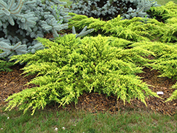 Daub's Frosted Juniper (Juniperus x media 'Daub's Frosted') at TLC Garden Centers