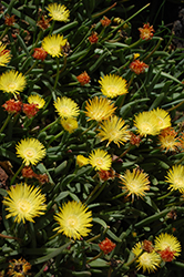 Yellow Ice Plant (Delosperma nubigenum) at TLC Garden Centers