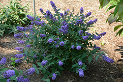 Lo And Behold® Blue Chip Dwarf Butterfly Bush (Buddleia 'Lo And Behold Blue Chip') at TLC Garden Centers