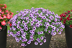 Supertunia® Bordeaux Petunia (Petunia 'Supertunia Bordeaux') at TLC Garden Centers