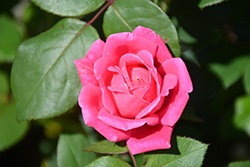 Pink Double Knock Out® Rose (Rosa 'Radtkopink') at TLC Garden Centers