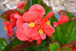 Big® Red Green Leaf Begonia (Begonia 'Big Red Green Leaf') at TLC Garden Centers