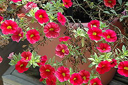 Aloha Kona Dark Red Calibrachoa (Calibrachoa 'Aloha Kona Dark Red') at TLC Garden Centers