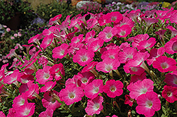 Surfinia® Bouquet Hot Pink Petunia (Petunia 'Surfinia Bouquet Hot Pink') at TLC Garden Centers