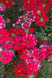 Lanai® Twister™ Red Verbena (Verbena 'Lanai Twister Red') at TLC Garden Centers