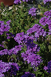 Superbena® Royale Chambray Verbena (Verbena 'Superbena Royale Chambray') at TLC Garden Centers