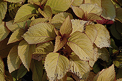 Orange King Coleus (Solenostemon scutellarioides 'Orange King') at TLC Garden Centers