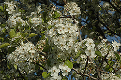 Cleveland Select Ornamental Pear (Pyrus calleryana 'Cleveland Select') at TLC Garden Centers