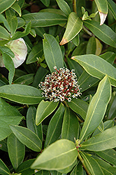 Japanese Skimmia (Skimmia japonica) at TLC Garden Centers