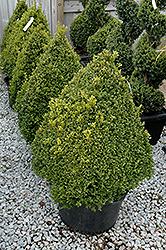 Green Mountain Boxwood (pyramid form) (Buxus 'Green Mountain (pyramid)') at TLC Garden Centers