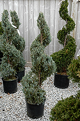 Wichita Blue Juniper (spiral) (Juniperus scopulorum 'Wichita Blue (spiral)') at TLC Garden Centers