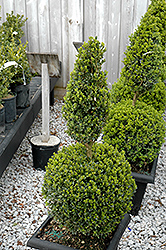 Green Mountain Boxwood (poodle form) (Buxus 'Green Mountain (poodle)') at TLC Garden Centers