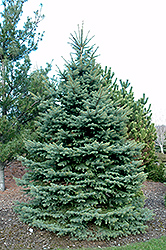 Baby Blue Eyes Spruce (Picea pungens 'Baby Blue Eyes') at TLC Garden Centers