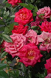 Be My Baby Rose (Rosa 'Be My Baby') at TLC Garden Centers