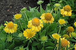 Mesa Yellow Blanket Flower (Gaillardia x grandiflora 'Mesa Yellow') at TLC Garden Centers