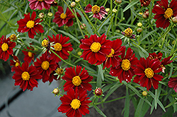 Mercury Rising Tickseed (Coreopsis 'Mercury Rising') at TLC Garden Centers