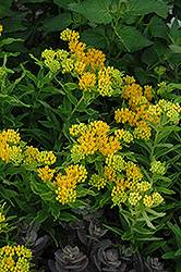 Hello Yellow Milkweed (Asclepias tuberosa 'Hello Yellow') at TLC Garden Centers