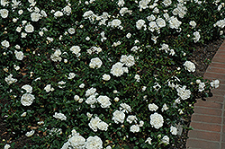 White Meidiland® Rose (Rosa 'Meicoublan') at TLC Garden Centers