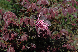 Sizzling Pink Chinese Fringeflower (Loropetalum chinense 'Sizzling Pink') at TLC Garden Centers