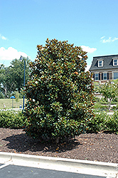 Little Gem Magnolia (Magnolia grandiflora 'Little Gem') at TLC Garden Centers
