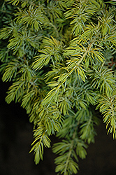 Golden Pacific Shore Juniper (Juniperus conferta 'sPg-3-016') at TLC Garden Centers