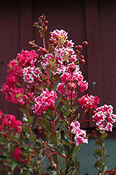 Raspberry Sundae Crapemyrtle (Lagerstroemia indica 'Whit I') at TLC Garden Centers