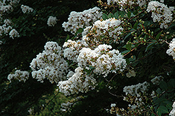Acoma Crapemyrtle (Lagerstroemia 'Acoma') at TLC Garden Centers