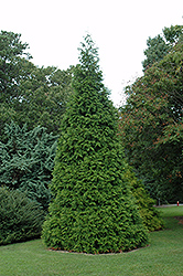 Green Giant Arborvitae (Thuja 'Green Giant') at TLC Garden Centers