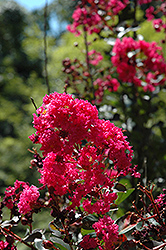 Pink Velour Crapemyrtle (Lagerstroemia indica 'Whit III') at TLC Garden Centers