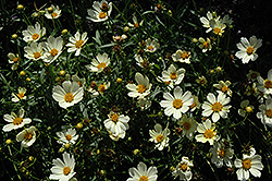 Star Cluster Tickseed (Coreopsis 'Star Cluster') at TLC Garden Centers