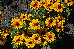 TigerEye Coneflower (Rudbeckia 'TigerEye') at TLC Garden Centers