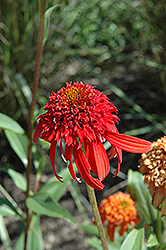 Cone-fections™ Hot Papaya Coneflower (Echinacea 'Hot Papaya') at TLC Garden Centers