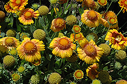 Arizona Apricot Blanket Flower (Gaillardia x grandiflora 'Arizona Apricot') at TLC Garden Centers