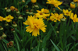 Sun Up Tickseed (Coreopsis grandiflora 'Sun Up') at TLC Garden Centers